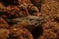 Agonus cataphractus