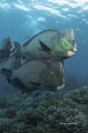 Bumbhead parrotfishes , morning meeting