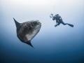 pos·er  Southern Ocean Sunfish - Mola ramsayi  Gilli Mimpang, Bali, Indonisia