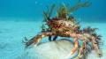 Decorated Spider Crab at Wild Derrynane