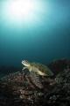 Green turtle at Siapa Besar, Komodo NP