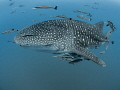Hanger-on