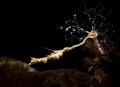 STRETCH Lembeh Sea Dragon
