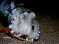 Coconut octopus living in it's bottle, with his shell to pull over the mouth of the bottle when it's needs to.