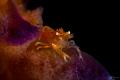 Sea pen shrimp