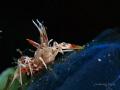 Spiny Tiger Shrimp (Phyllognathia ceratophthalma) @Tulamben