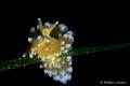 Janolus cristatus climbing on the grass