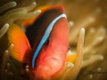 Tomato Anemonefish - as close as I could get without upsetting her.