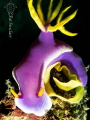 I love the contrast in the colors between the yellow eggs and the purple/lilac of the nudi