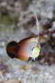 Fire DartfishWakatobi, Indonesia, Canon 5D MarkIII, 100mm Lens,F.I.T+5, INON Z240*2,F13,1/160,ISO125