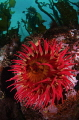 A large fish eating anemone extends its tentacles amongst the growing bull kelp