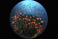 Fish Kaleidoscope/Lembeh strait  Indonesia  Canon 5D MarkIII  8 15mm fisheye lens Sea Sea housing Inon Z240 2  F16 1/160 ISO320
