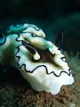 Glossodoris atromarginata  Dive Site Seraya Secrets in Tulamben Bali  Canon TG4