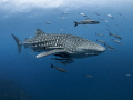 Entourage   Whale Shark   Rhincodon typus  Sail Rock  Thailand