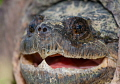 In my Farm pond...dont go swimming  North American Snapping Turtle / Chelydra serpentina