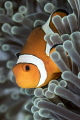 Clownfish  Tulamben  Bali
