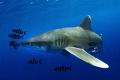 Oceanic white tip shark close
