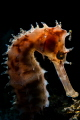 Thorny seahorse with backlit.