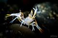 Juvenile spiny tiger shrimp