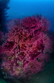 50 shades of RED ......... Red gorgonia