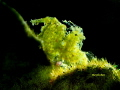 Green algae shrimp with eggs.
