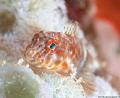 Orange Spotted Blenny Hypleurochilus springeri Bonaire NA