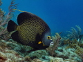 French Angelfish, Davis Ledge