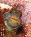 Tessellatted Blenny  Hypsoblennius invemar Bonaire NA