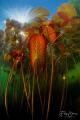 Water lilies, Turnhout, Belgium.