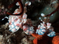 A nice couple of harlequin shrimps