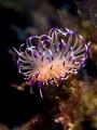 Slug Life  Nudibranch - Unidentia angelvaldesi  Samran Pinnicle, Thailand