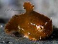 Eumicrotremus orbis, Pacific Spiny Lumpsucker in soft focus