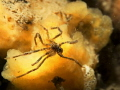 Small spider at a normal sponge (Suberites massa)