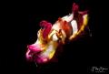 flamboyant cuttlefish (Metasepia pfefferi)- Lembeh.