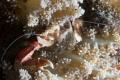 An eating porcelain crab
