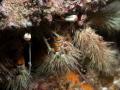 A huge hermit crab