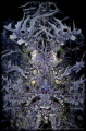 F A C E - O N Weedy Scorpionfish (Rhinopias frondosa) Anilao, Philippines.