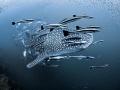 Bigmouth Strikes Again  Whale Shark   Rhincodon typus  Sail Rock  Thailand