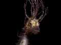 Hippocampus guttulatus Long Hairy Speckled Seahorse