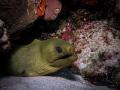 Green Moray Penon Reef Bayahibe with canon g7x and single strobe