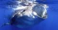Whale Shark Close up and personal feeding on Bonita eggs