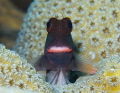 Lippy Redlip blenny (Ophioblennius atlanticus)  Picture taken in Bonaire.