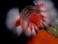 Hermodice carunculata Fire worm