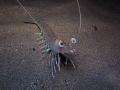 Penaeus kerathurus Caramote prawn