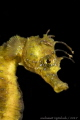 Golden sea horse 