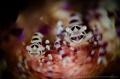 C O U P L E The Coleman Shrimp (Periclimenes colemani) Anilao, Philippines.