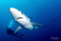 Blue shark, 18 miles off shore from Cape point, South Africa.