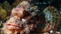 pinky rock fish