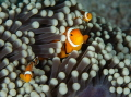 Family of clownfish in the Banda Sea.