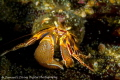 A colorful little Hermit Crab.